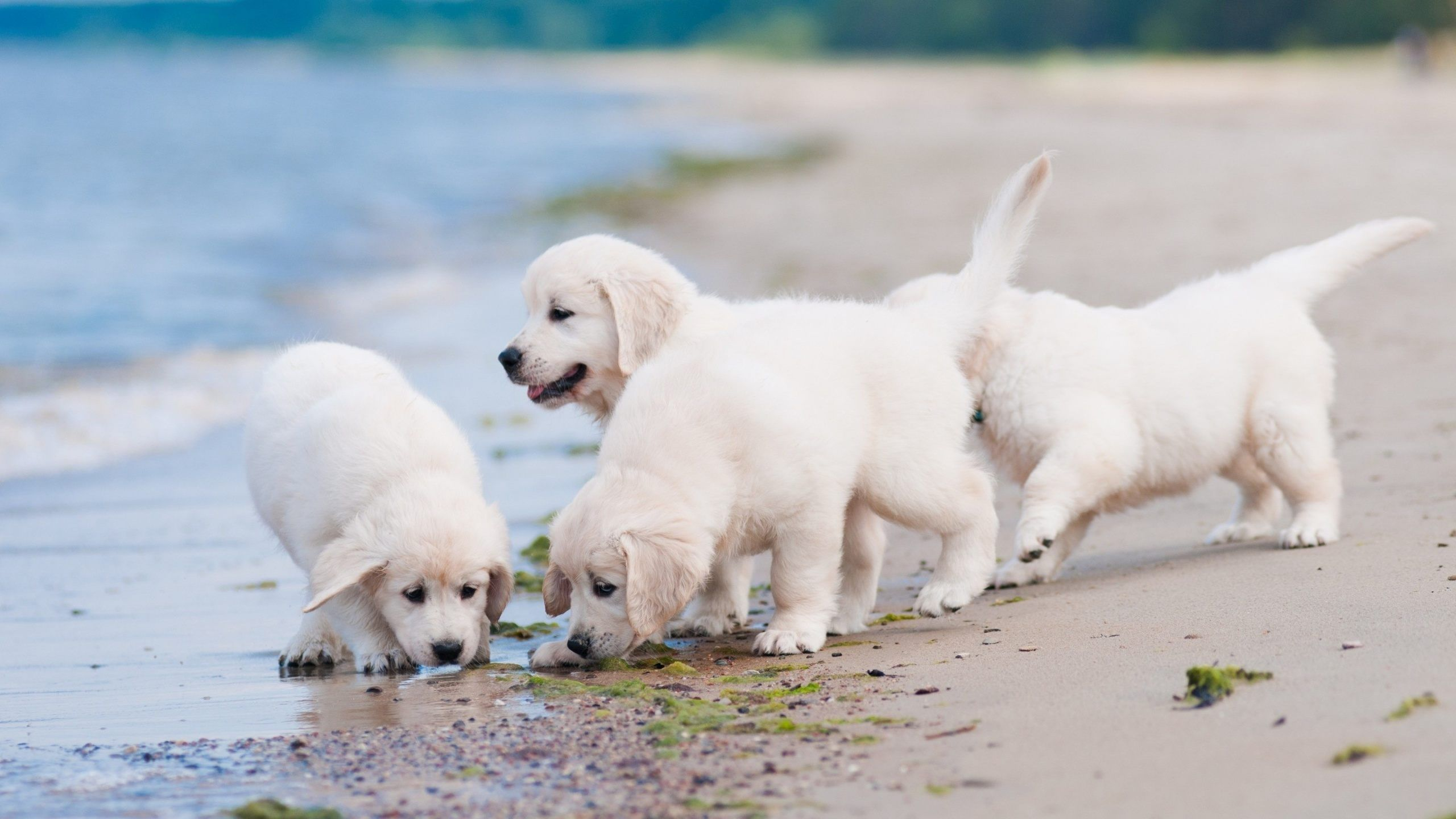 White Puppies Playing At Beach Wallpaper Hd For Desktop