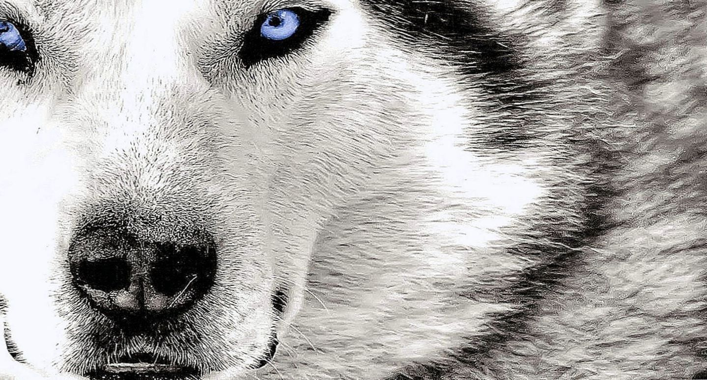 Angry Wolf Hd Wallpapers 1080p Angry Wolf Hd Wallpapers 1080p Wolf Wallpaper Angry Wolf Hd Wallpapers 1080p