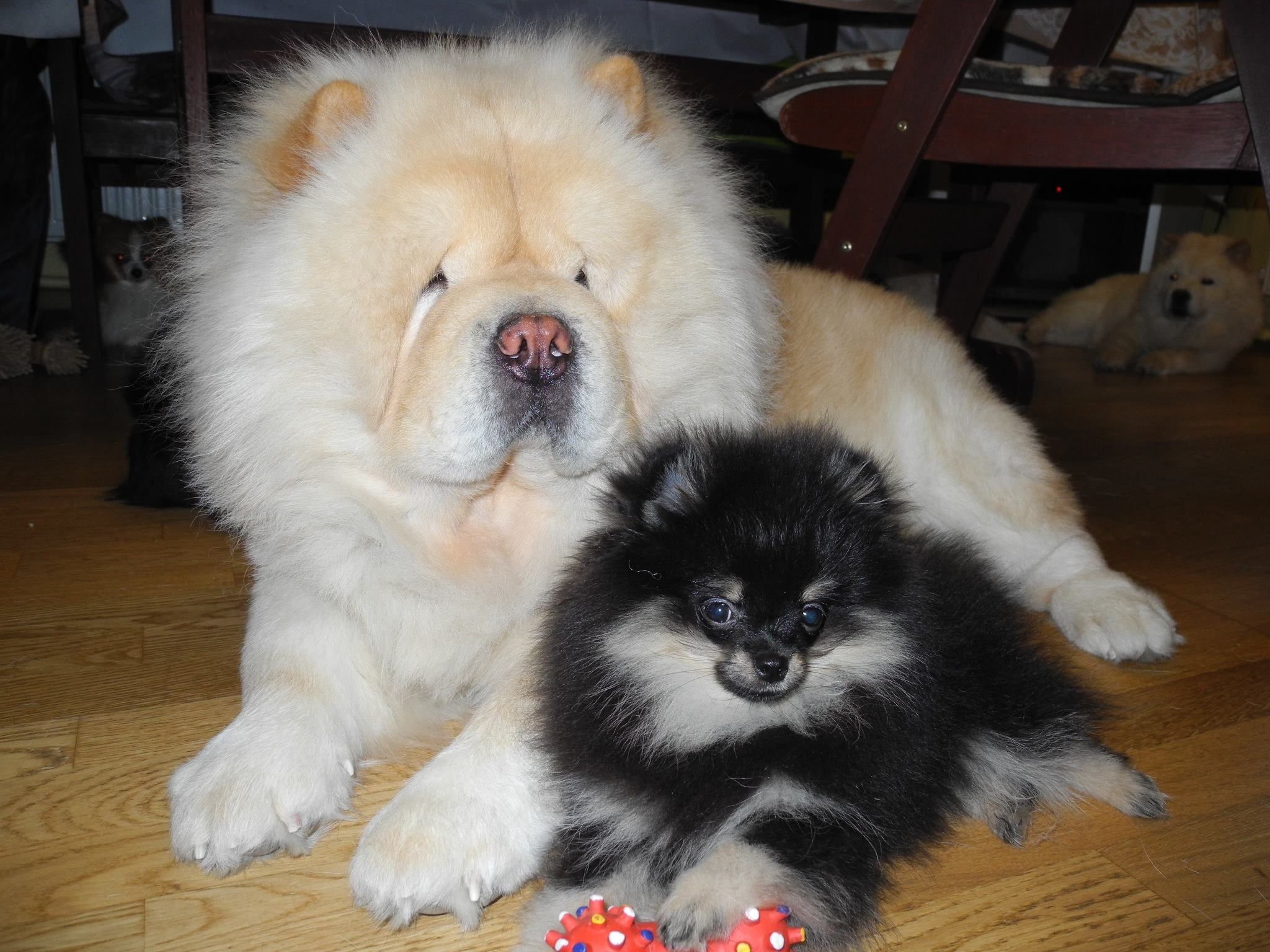 Cream Chow With A Friend Chow Chow Dogs Chow Chow Dogs