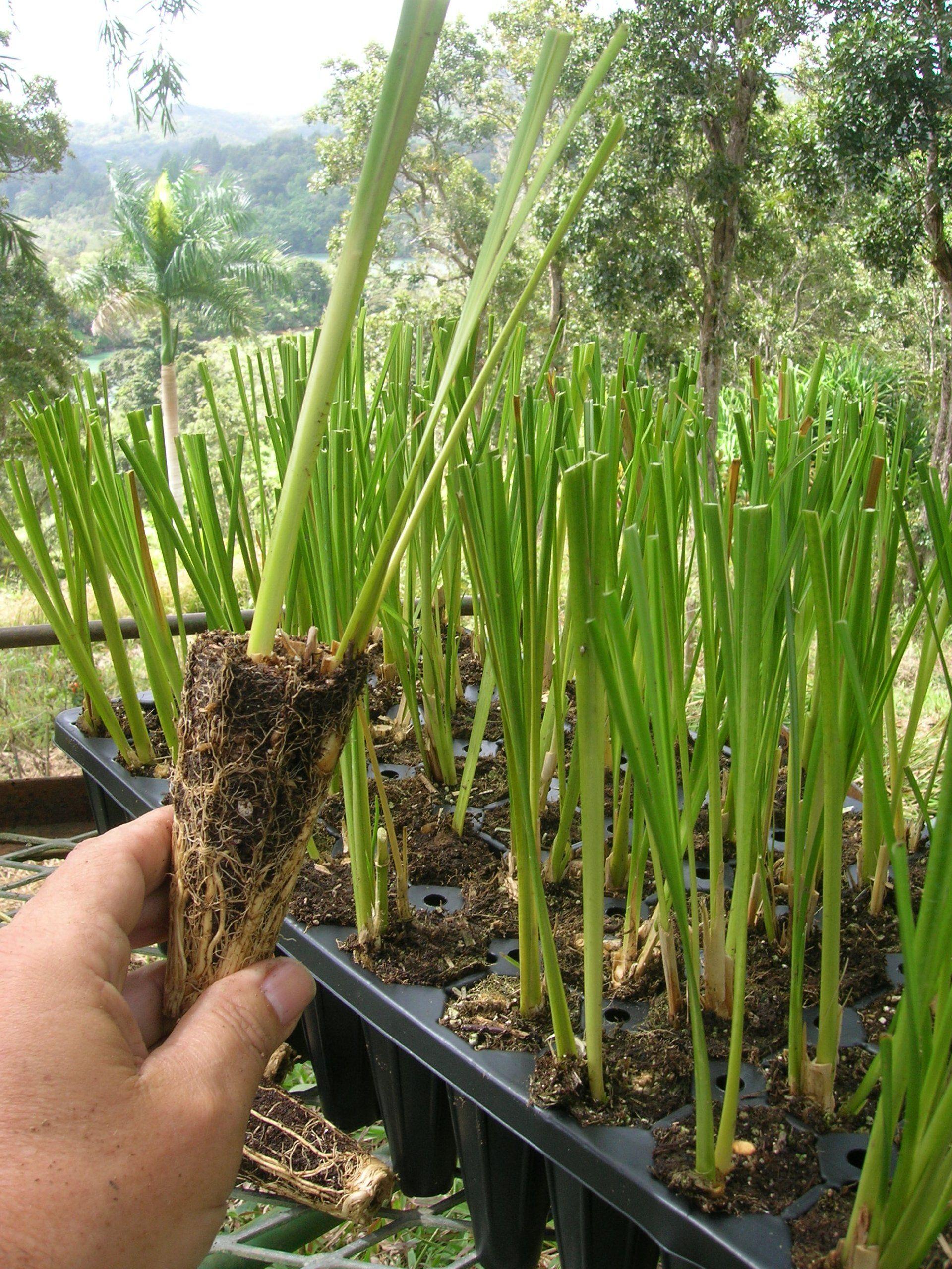 Vetiver Grass 45 live plant pack (Chrysopogon