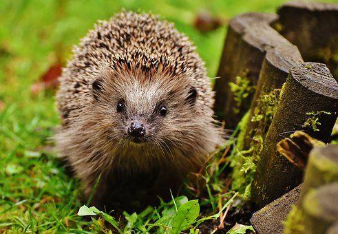 Images Gratuites Pixabay Ausgestopftes Tier Igel Igel Im Garten