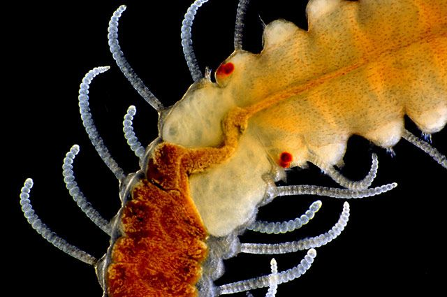 Adult marine worm | 2015 Photomicrography Competition | Nikon's Small World