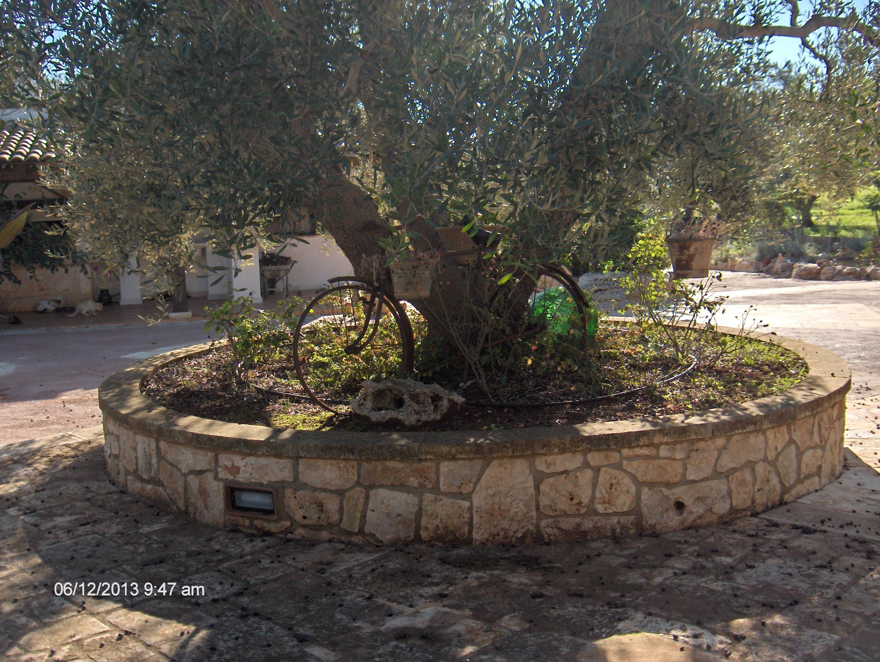 come piantare alberi di ulivo