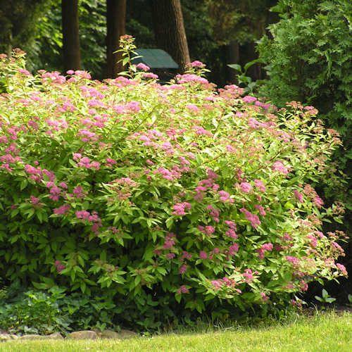 spiraea japonica anthony waterer spir e jeune plante en godet vente en ligne plantes et. Black Bedroom Furniture Sets. Home Design Ideas