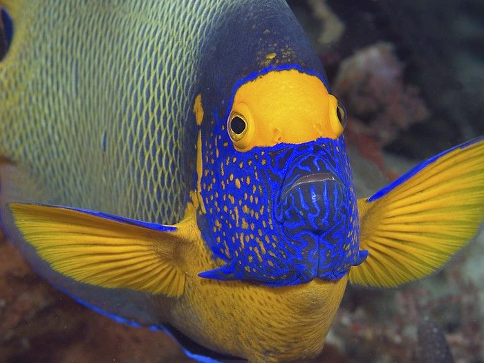 Blueface Angelfish These Gorgeous Fish Live Mainly In The Waters Of The Japan Maldives Indonesia And Taiwan Beautiful Fish Marine Fish Puffins Bird