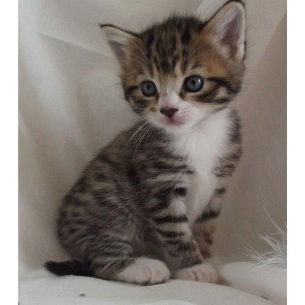 10 Weeks Old Female Tabby Kitten Grey Tabby Kittens Grey Kitten Tabby Kittens For Sale