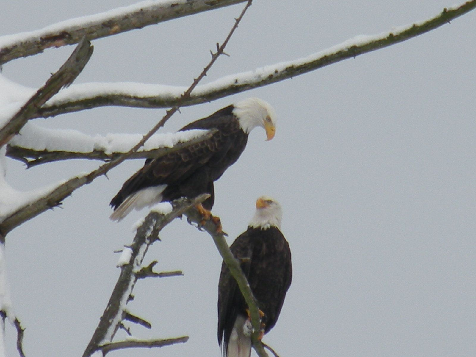 My best eagle pic