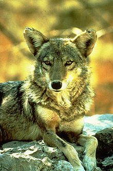 Coyote has been compared to both the Scandinavian Loki, and also Prometheus, who shared with Coyote the trick of having stolen fire from the gods as a gift for mankind, and Anansi, a mythological culture hero from Western African mythology.