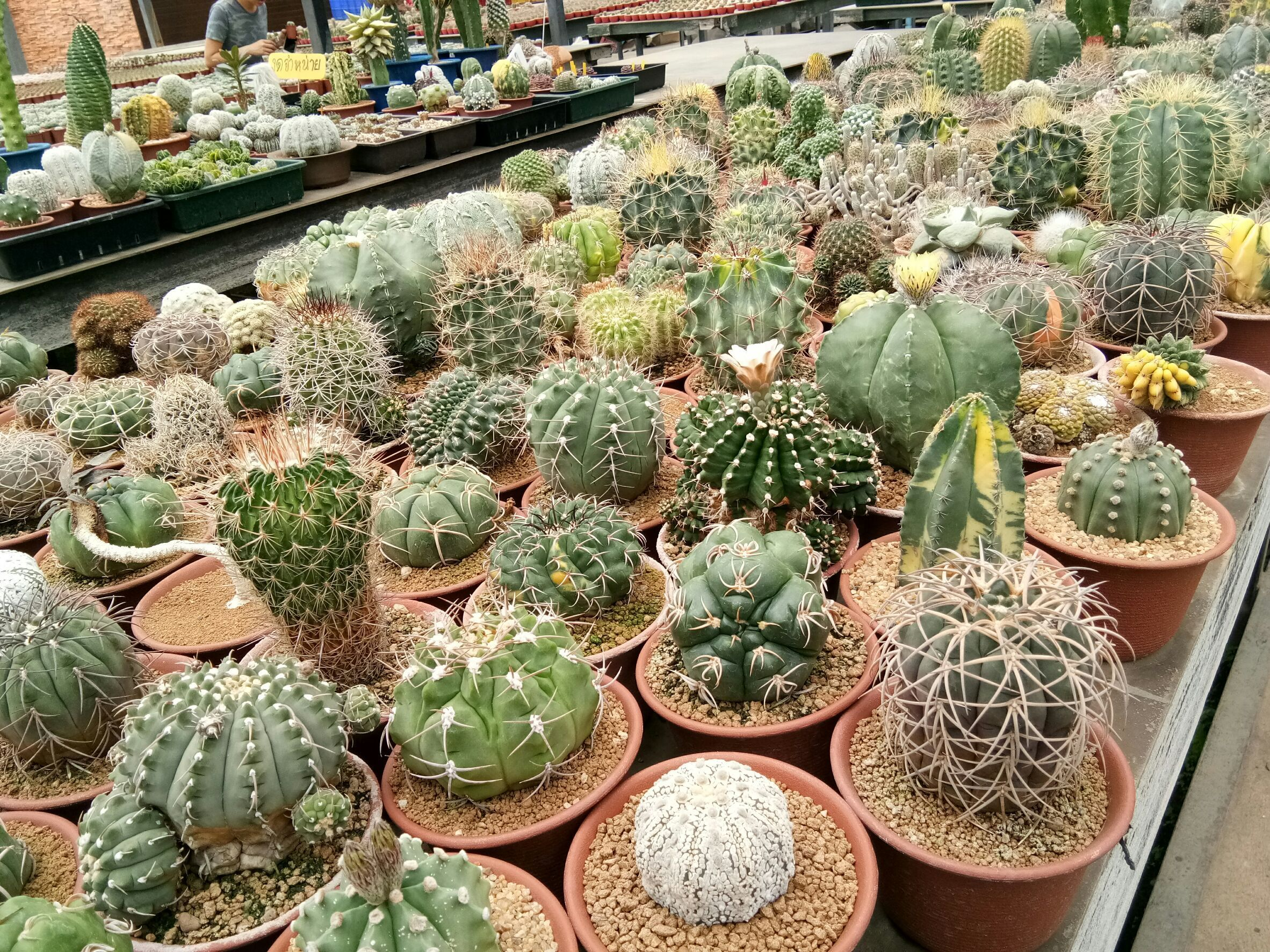 Nice cactus from uncle-chorn gargen , thailand  Follow us : www.cozydecor.co