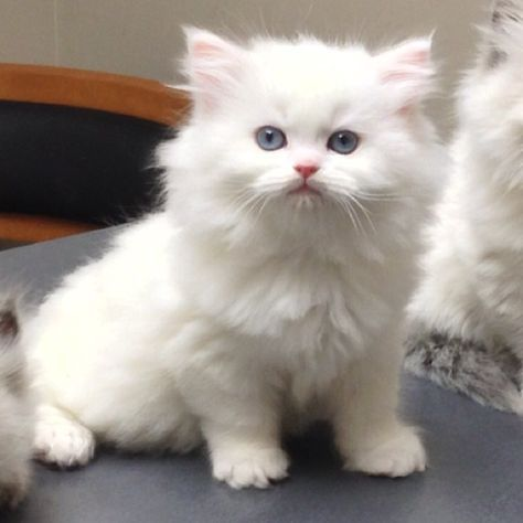 Pin By Sarah Machol On Maddie White Persian Kittens Persian Cat