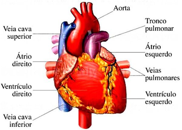 Leia O Jornal De Saude Cirurgia Vascular Coracao Anatomia