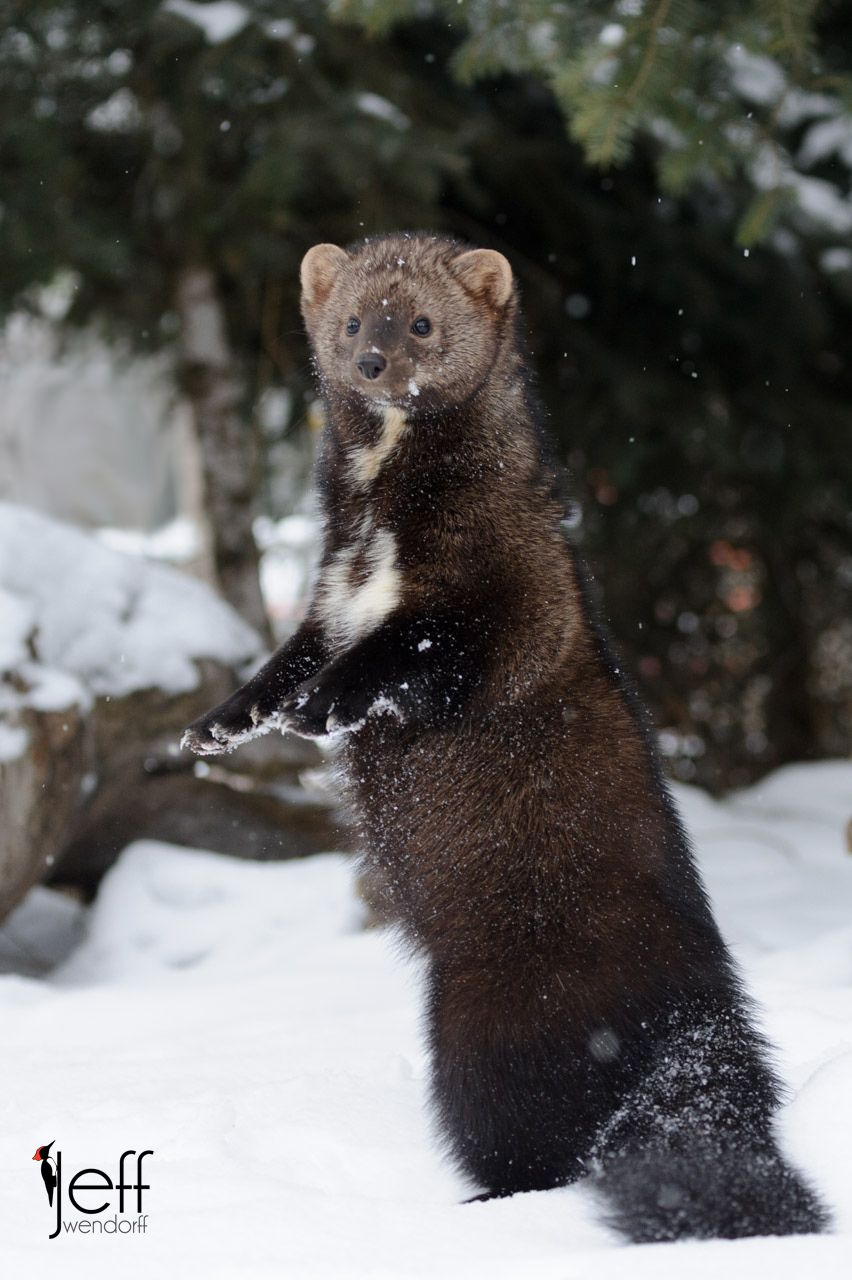 Wildlife Photography Fisher Cats Jeff Wendorff