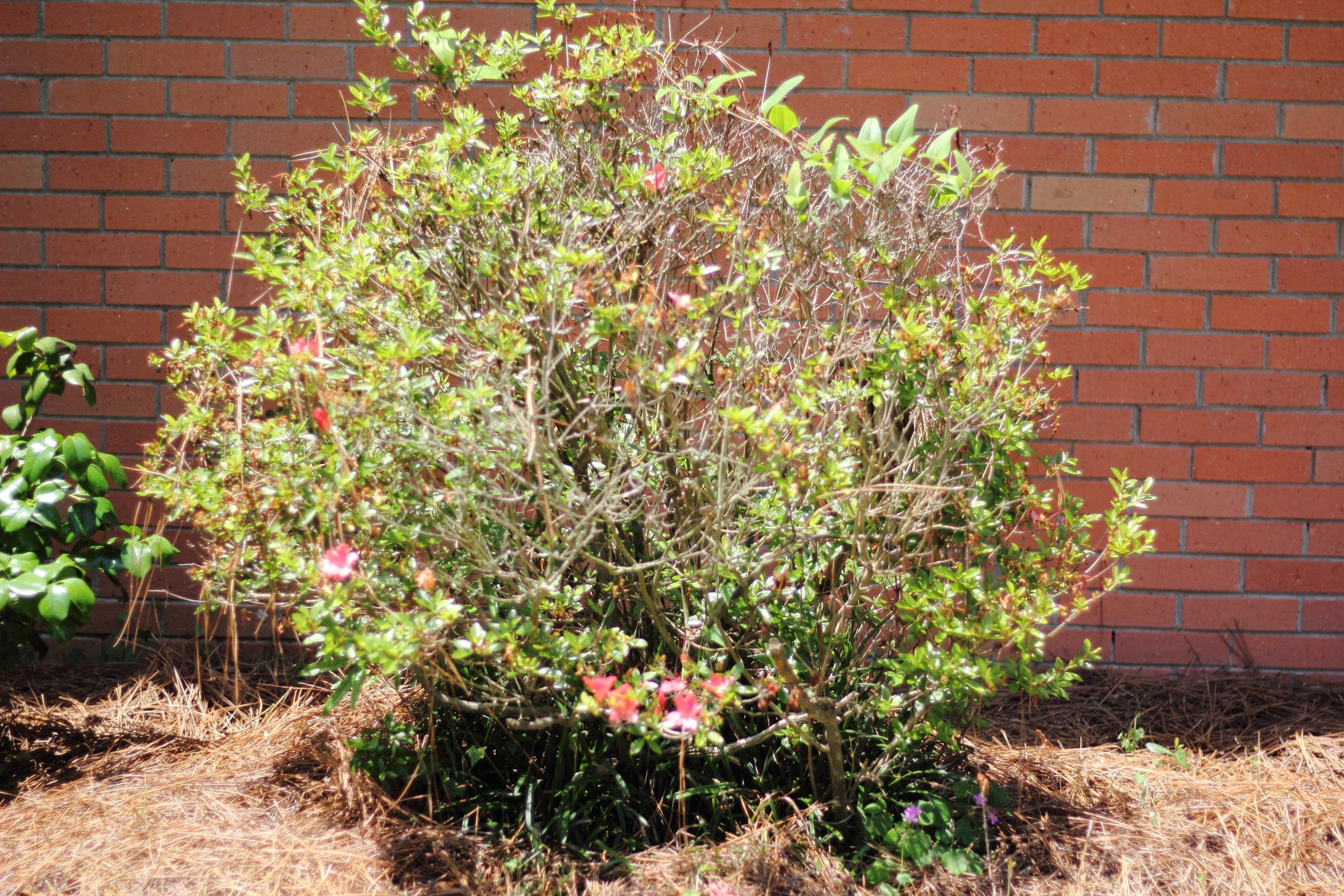 How To Give Old Azaleas A Fresh Start Pruning Azaleas Garden