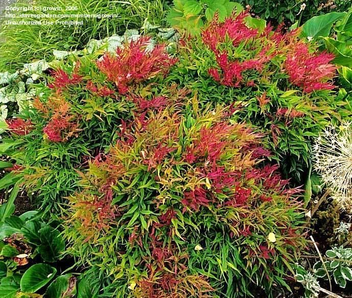Landscaping With Dwarf Bamboo : Full size picture of nandina dwarf heavenly bamboo monfar domestica