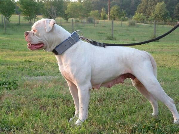 Walkers Chanoa Of Red Canon American Bulldog American Bully Bully Breeds