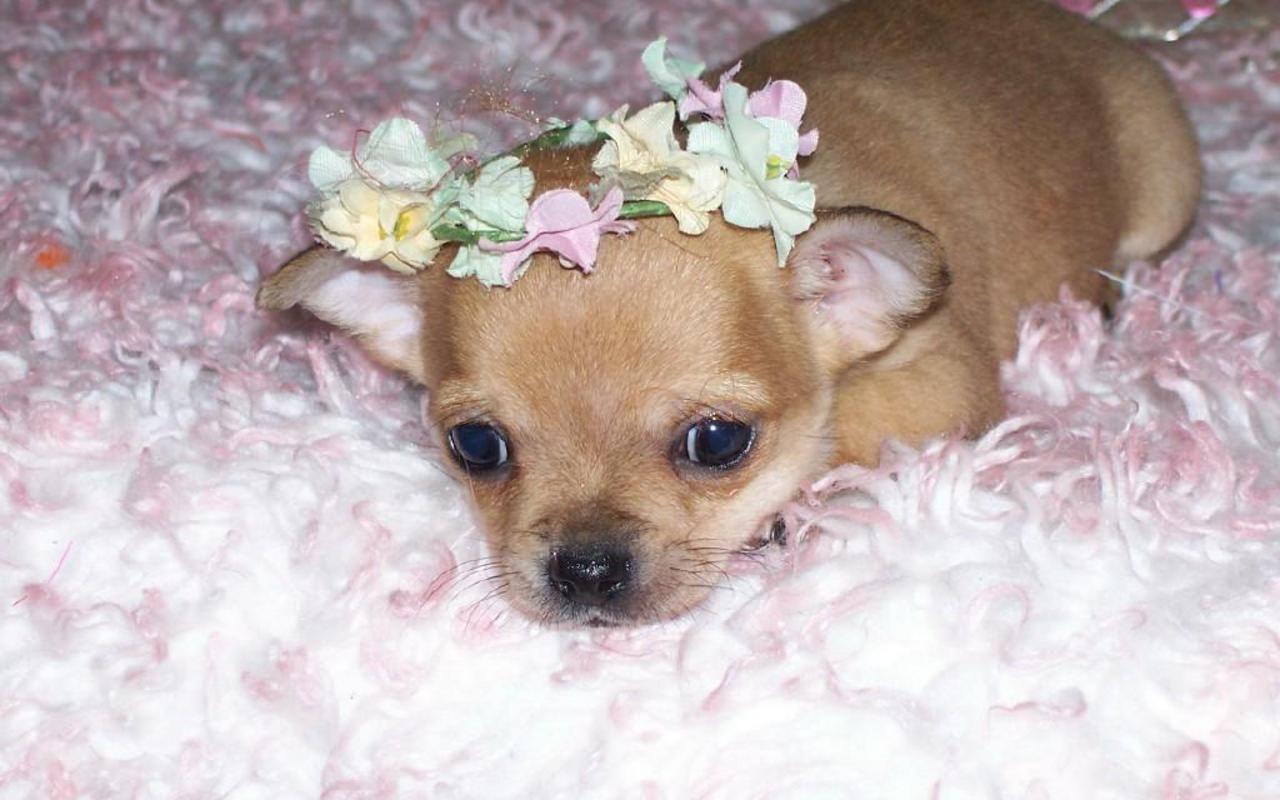 Chihuahuas Wallpaper Do I Look Cute Cute Chihuahua Chihuahua Dog Pictures Chihuahua Puppies