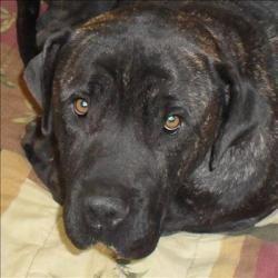 Mr Wilson Is An Adoptable Mastiff Dog In Lexington Ky Hi My