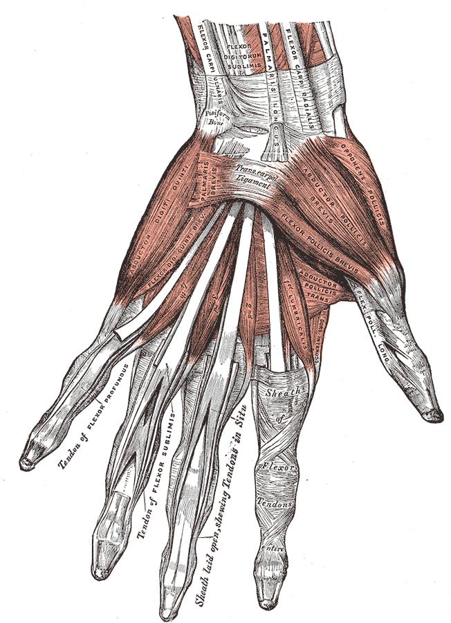 Gray427 Flexor Carpi Radialis Muscle Wikipedia Anatomy