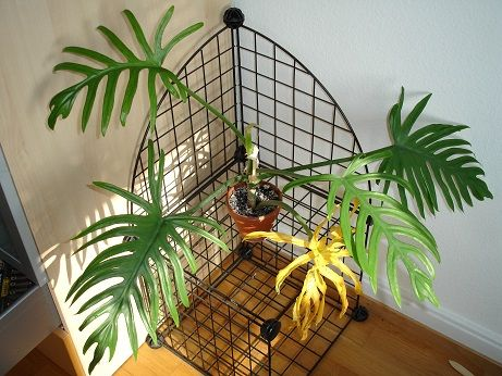 Filodendro (Philodendron scandens) » Plantas de interior Ideas - pflanzen für wohnzimmer