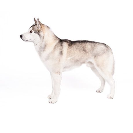Siberian Husky Woofipedia By The American Kennel Club Husky