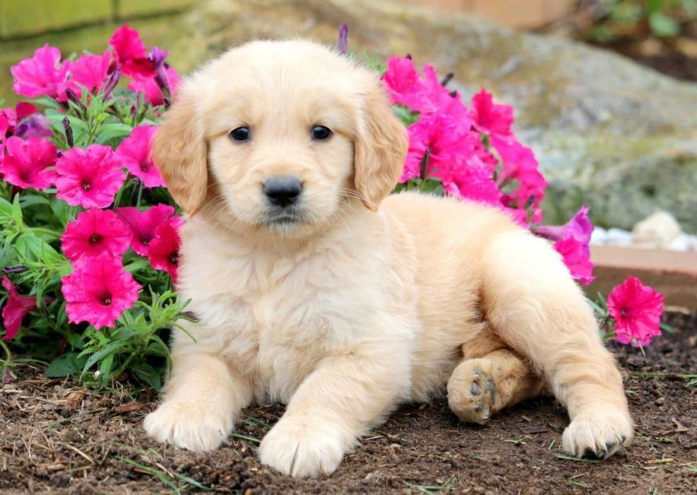 Mitsy Keystone Puppies Puppies For Sale Health Guaranteed Golden Retriever Keystonepuppies Goldenret Dogs Golden Retriever Golden Retriever Dog Breeds