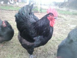 Unsere Hühner wachsen in großen, begrünten Auslauf - Gehegen auf und erhalten nur gutes Hühnerfutter. Die Zuchstämme werden, mit Ausnahme der Strupphühner (blau und schwarz laufen hier zusammen), rasse- und farbrein gehalten. Wir halten große Hühnerrassen wie Bresse Gauloise, Orpington, Jersey Giants, Strupphühner.
