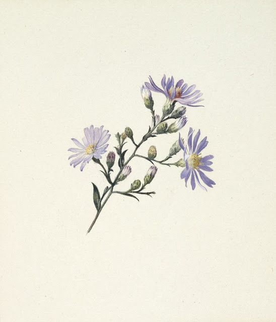 Asters C 1876 1878 Watercolor And White Gouache Over Graphite On Off White Wove Paper Aster Flower Tattoos Gouache Flowers Aster Tattoo