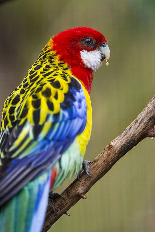 Colorful bird is an Eastern Rosella - photo  by Tambako The Jaguar