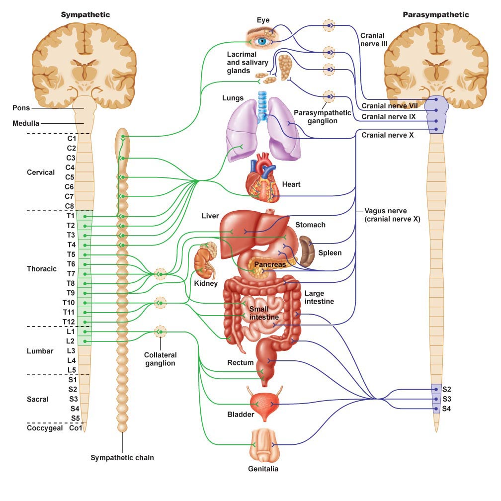 Anatomy of the nervous system | Nervous System Diagram for ...