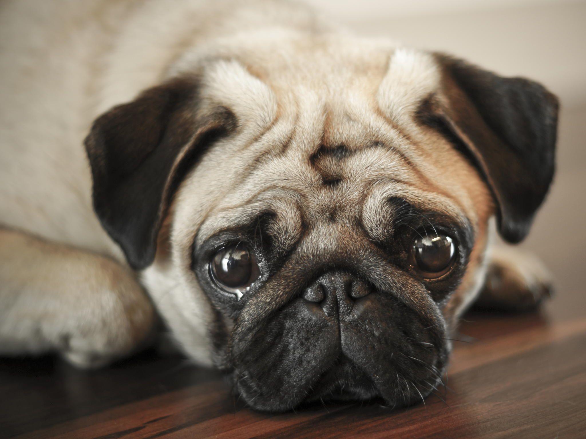 That Face Pure Lovable Pug Pugs Pug Love Pug Mom