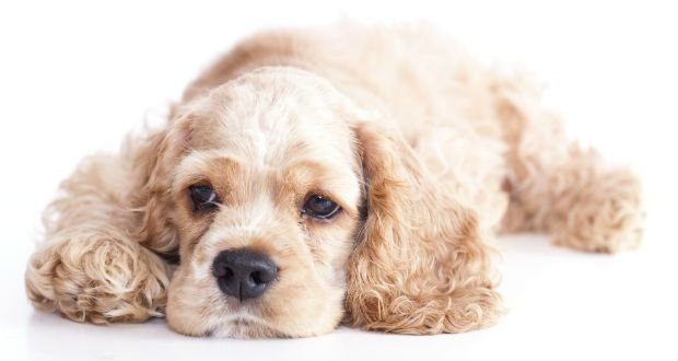 16 Happiest Small Dog Breeds Puppy Lover News Cocker Spaniel Breeds Small Dog Breeds Dog Breeds
