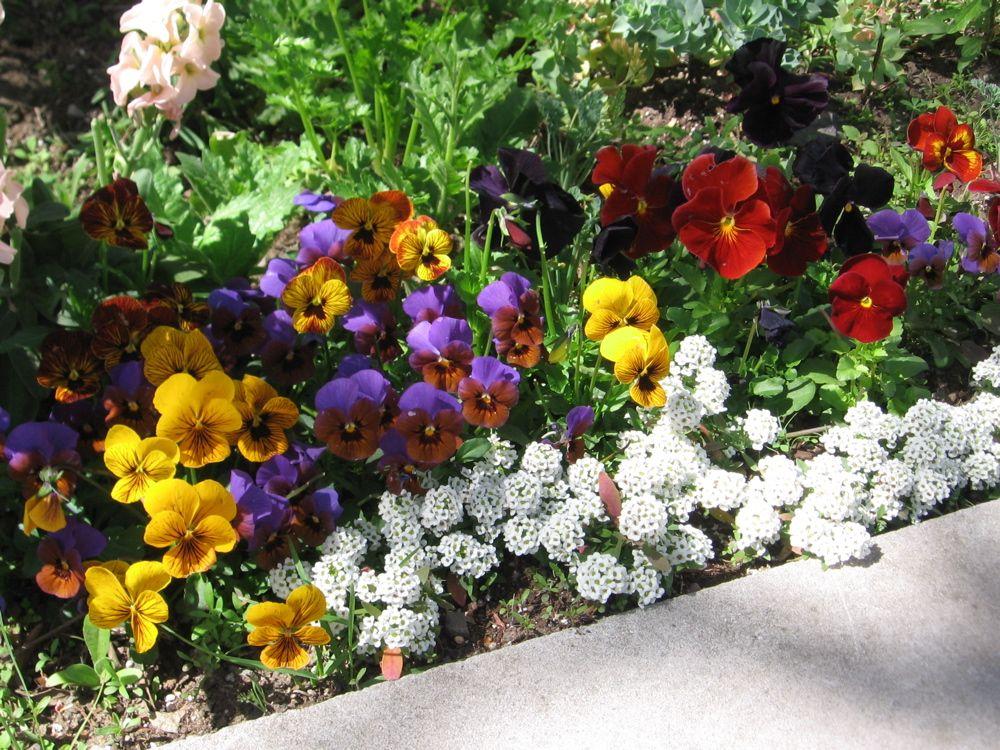 Sweet Flower Beds More Pansies This Time With Violas And Sweet Alyssum Pansy Garden Alyssum Alyssum Flowers
