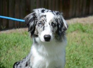 Adopt Blue Eyes On Petfinder Australian Shepherd Aussie Dogs Australian Shepherd Dogs