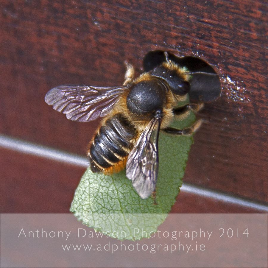Leafcutter Bee Bee, Bee happy, All things wild