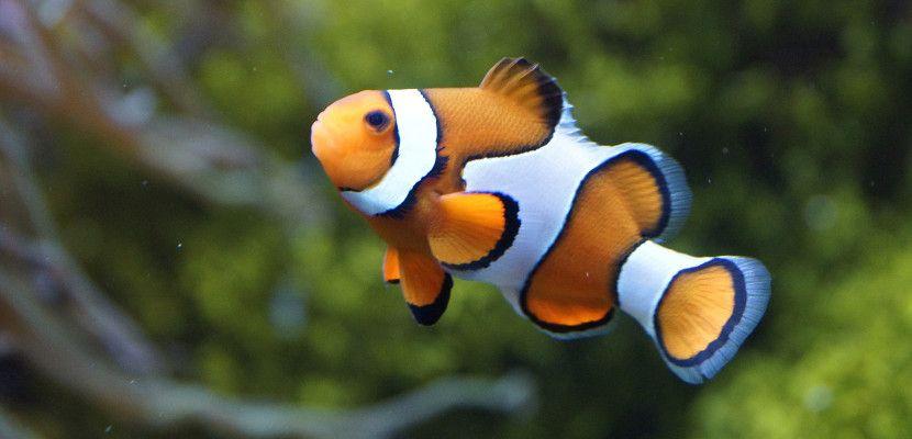 Los peces tienen una memoria de más de tres segundos - http://www.depeces.com/los-peces-tienen-una-memoria-de-mas-de-tres-segundos.html