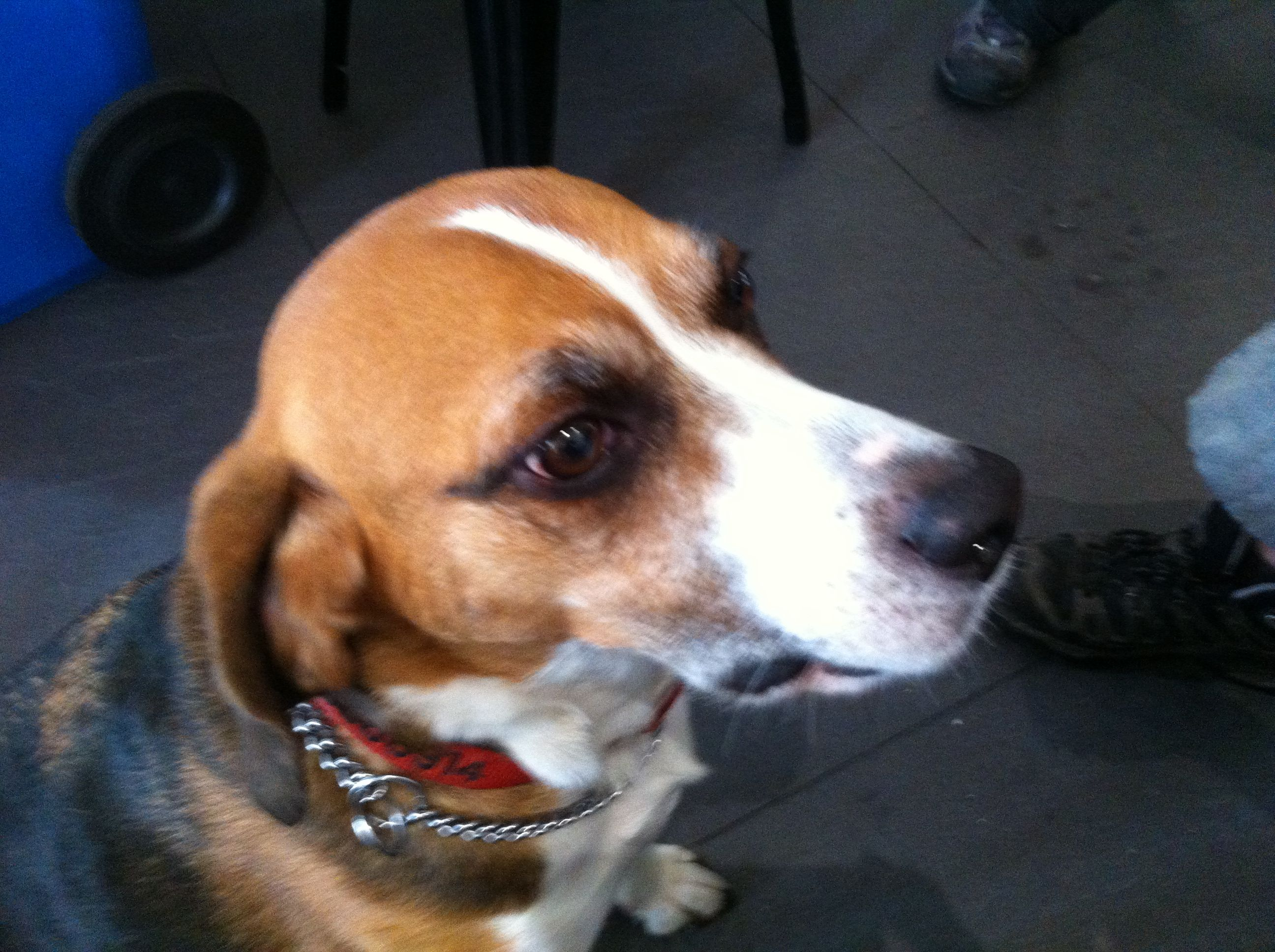 Basil Beagle Of Bundeena Nsw Beagle Dogs Animals