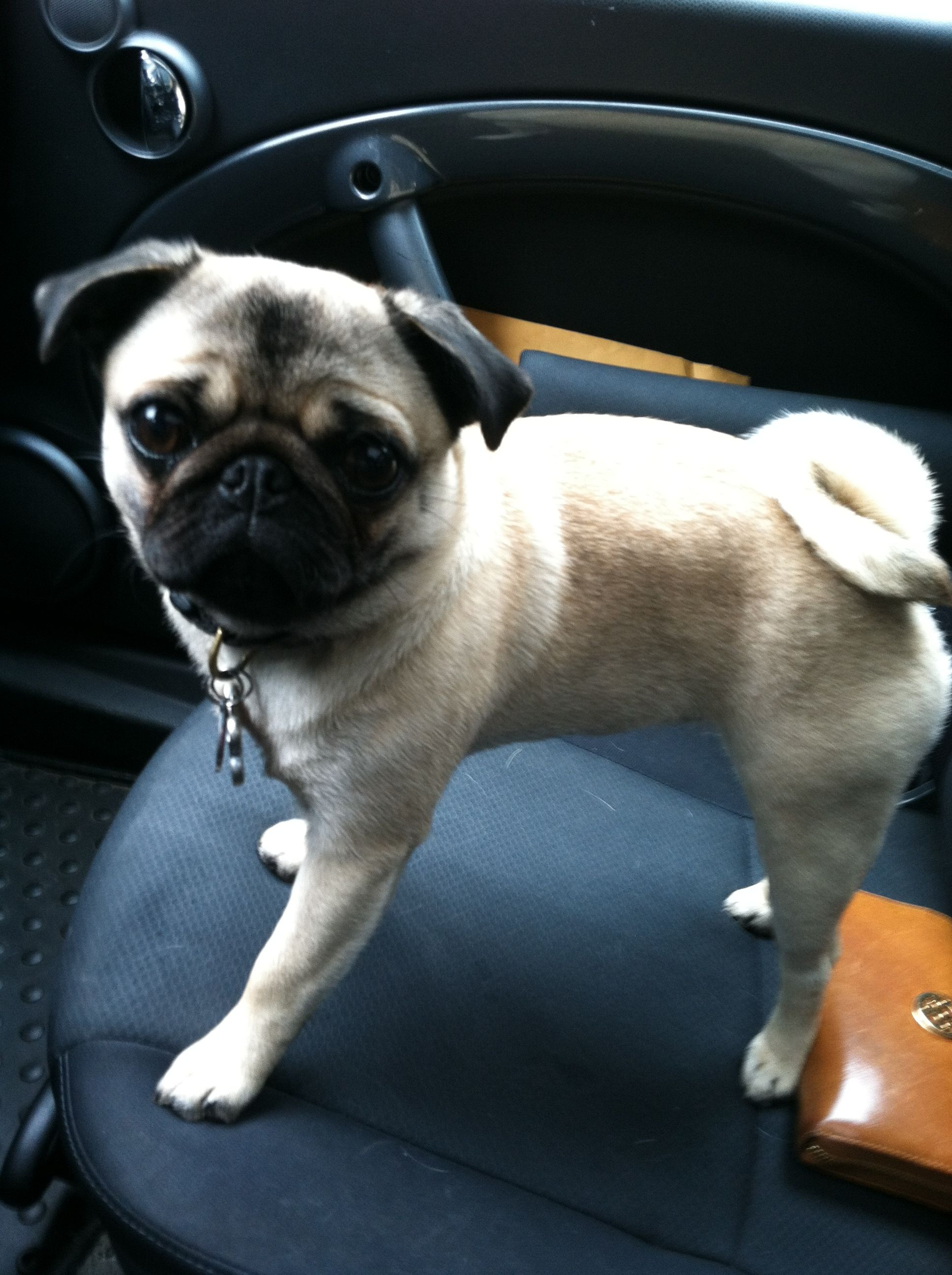 Lulu Loves Car Rides Pug Love Pugs Buy A Pug