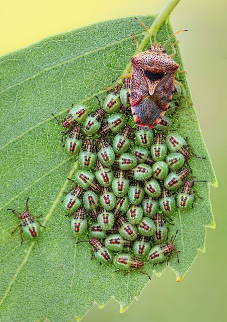 Parent Bug With Images Beautiful Bugs Bugs And Insects Cool