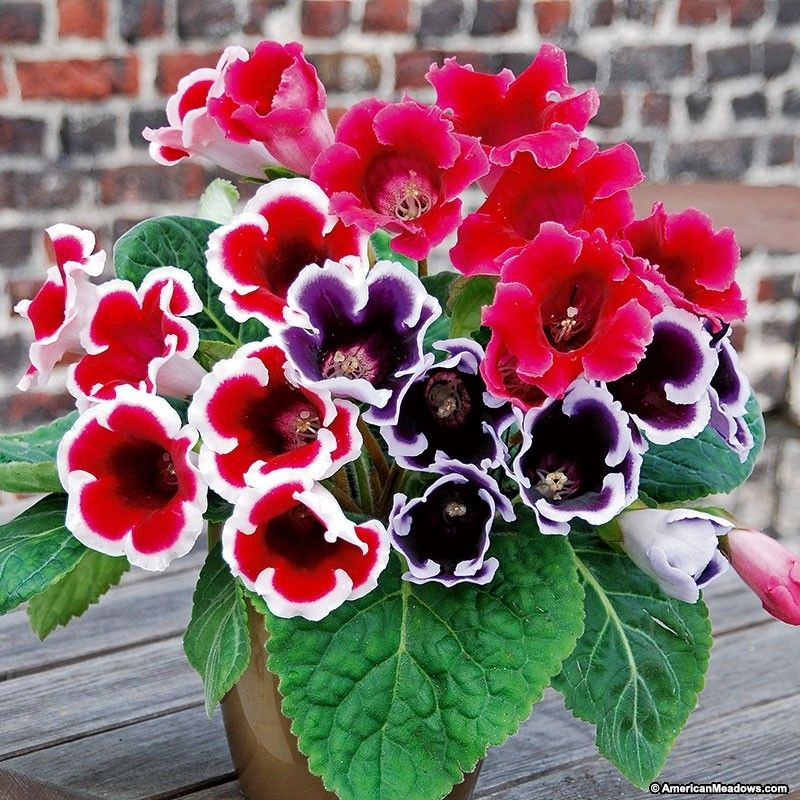 Each cluster of bell-shaped blooms in this Gloxinia Mix struts its stuff for up to ten weeks! With a mix of vibrant purple, magenta, and white-edged bicolor blooms, this spring-planted tuber is suited to pots and borders alike. And, with a little care, the plants can be kept for many years. (Sinningia speciosa)