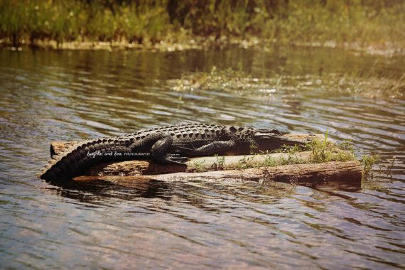 Rafting Alligator Photo Gator Photography by laughlovephoto