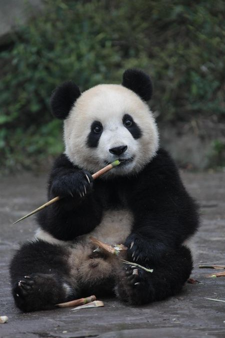 a baby panda eating bamboo pandas pinterest panda and animal