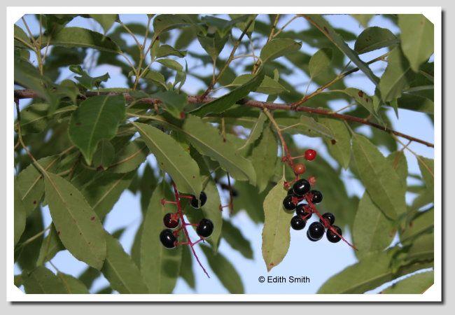 Wild Black Cherry Tree Prunus Serotina Black Cherry Tree Birch Tree Mural Christmas Tree Wallpaper