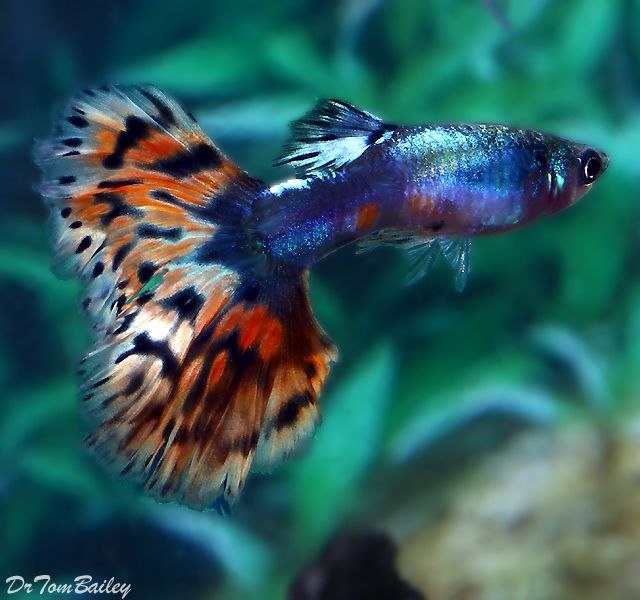 Gorgeous guppies blue diamond variegated guppy male for Guppy fish care