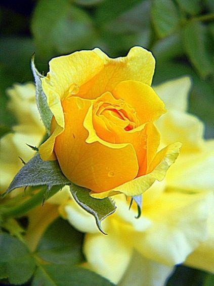 "thelordismylightandmysalvation: "" Rose ~ 'Julia Child' """