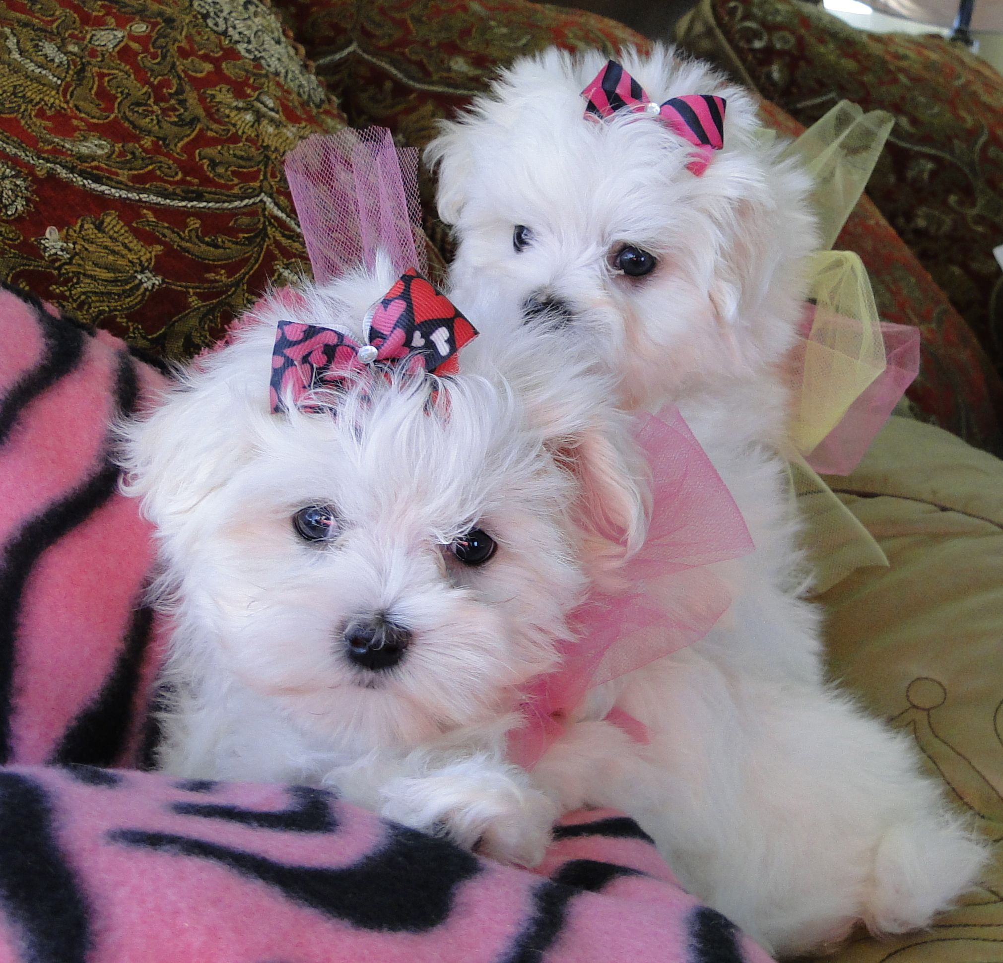Look At My Beautiful Baby Maltese We Adore Our Puppies Www