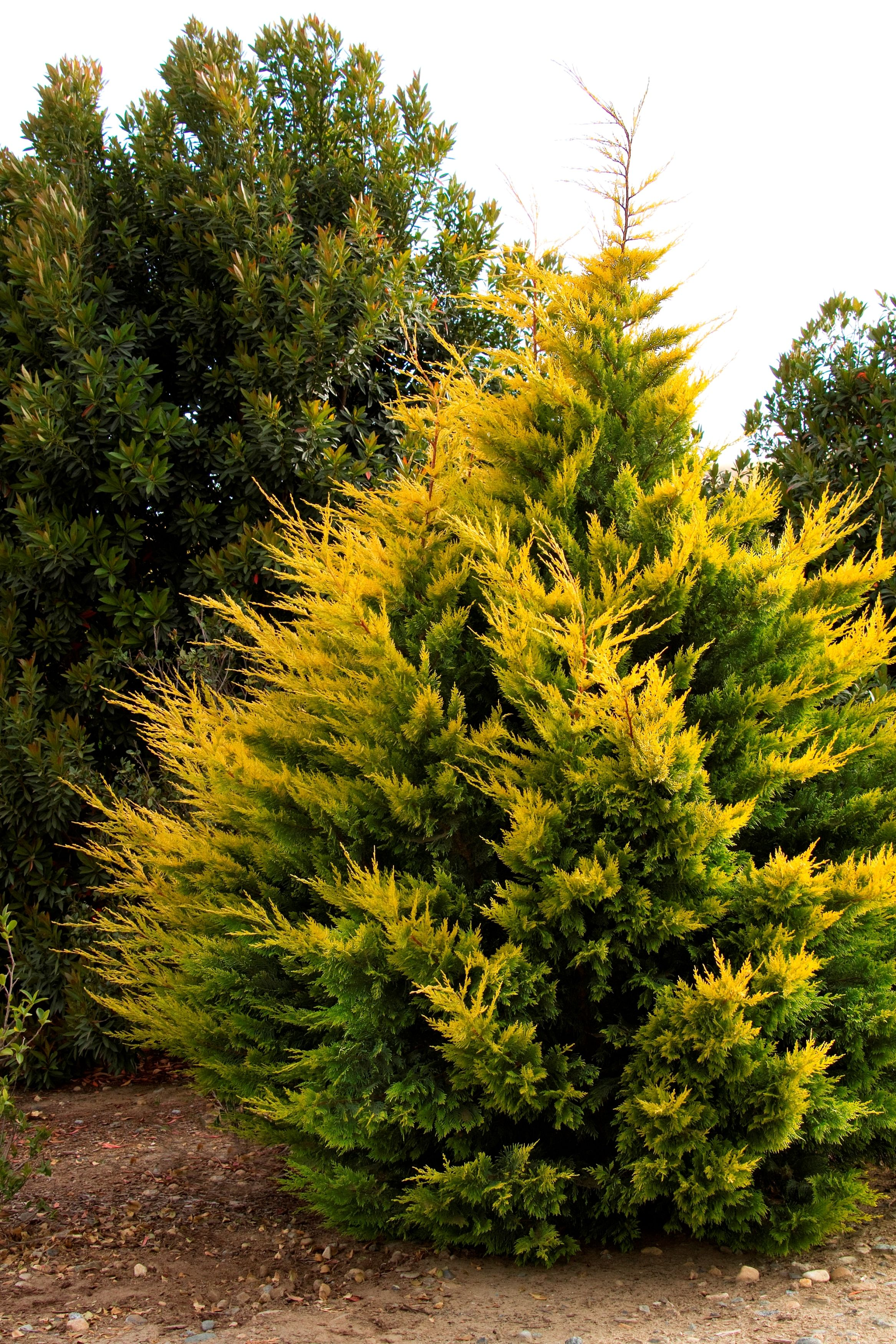 grow zone 5 9 gold rider leyland cypress monrovia gold. Black Bedroom Furniture Sets. Home Design Ideas