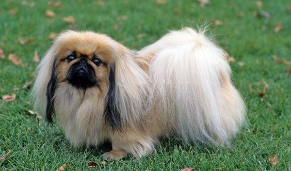 Long Haired Dog Breeds Pekingese Dogs