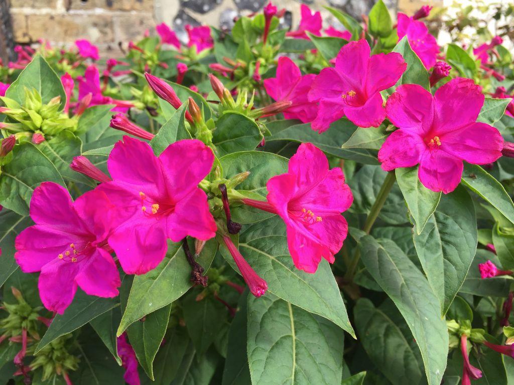 Four Oclocks Mirabilis Jalapa Nostalgia Pinterest Flowers