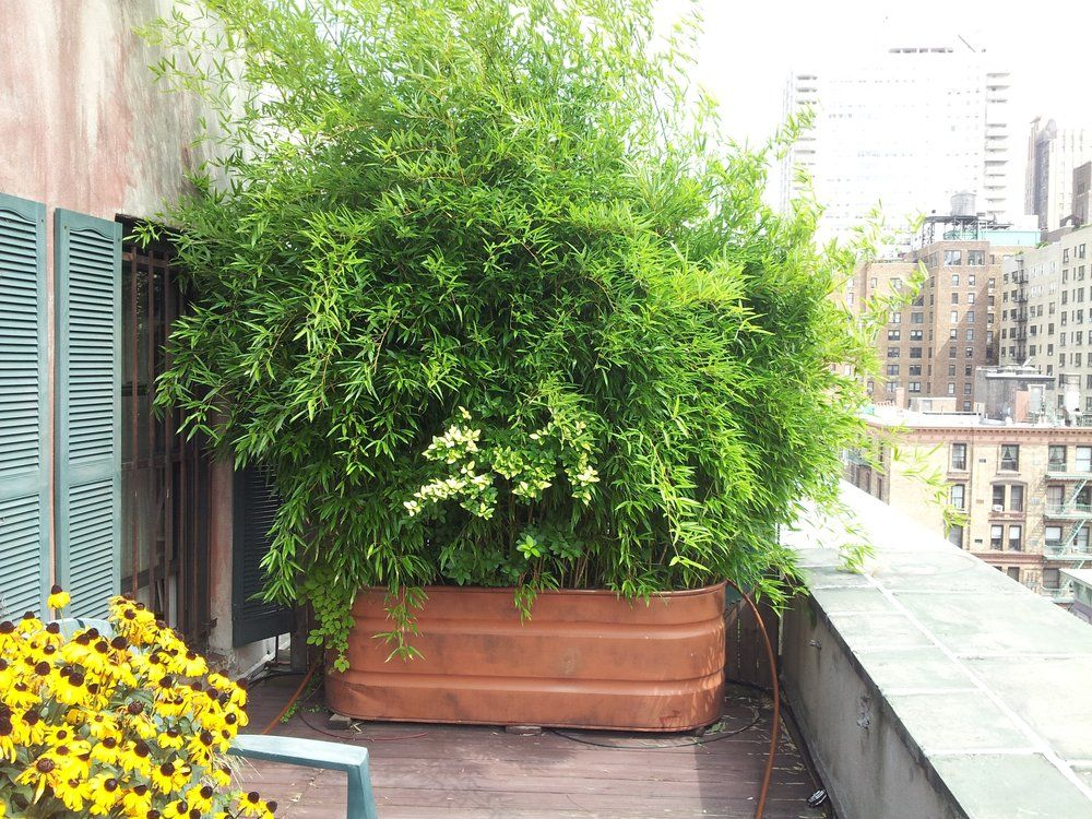 Growing Bamboo In Container Gardens And Plants