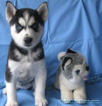 Cute Siberian Husky Puppy For Sale Read More Http Www